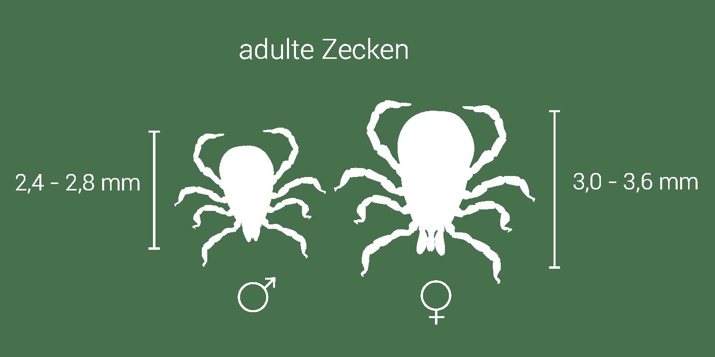 Grafik: Größendarstellung adulter Zecken