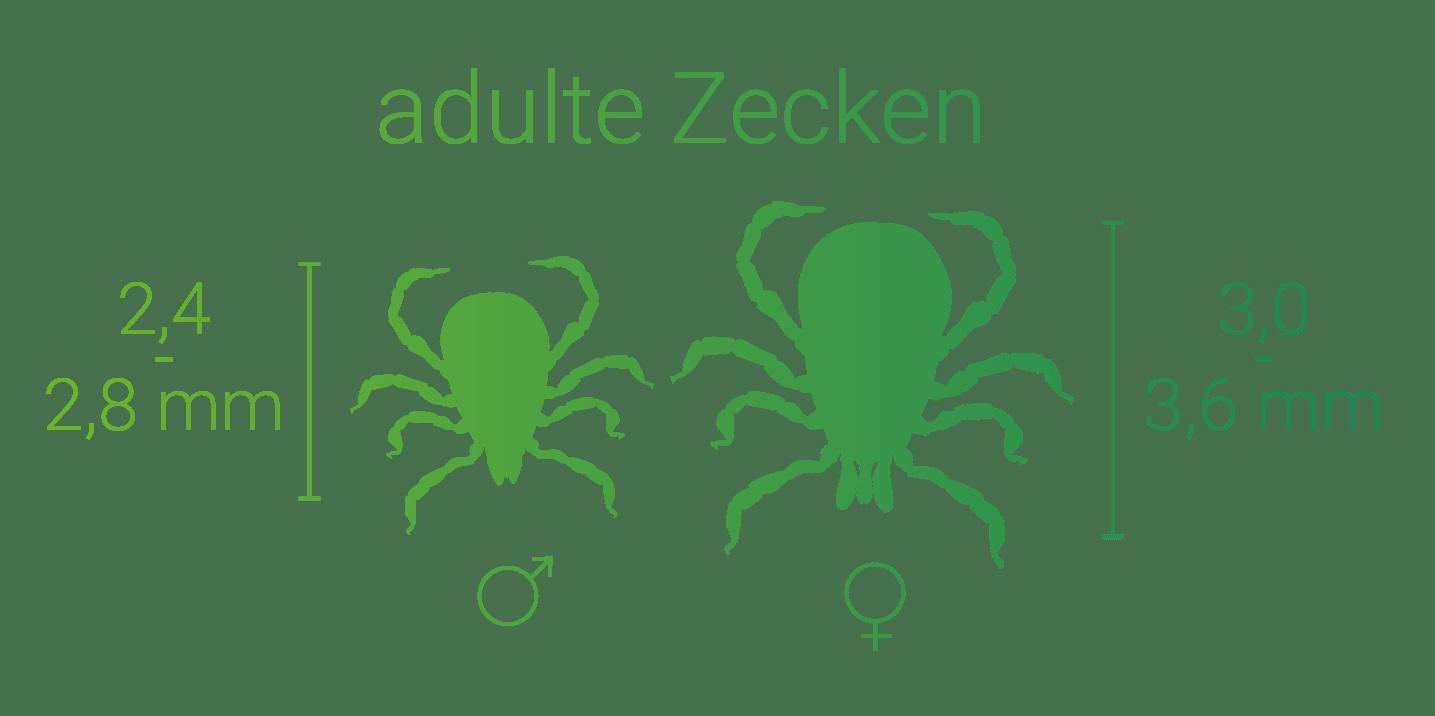 Grafik: Größe von adulte Zecken (Gemeiner Holzbock) - Männchen vs. Weibchen