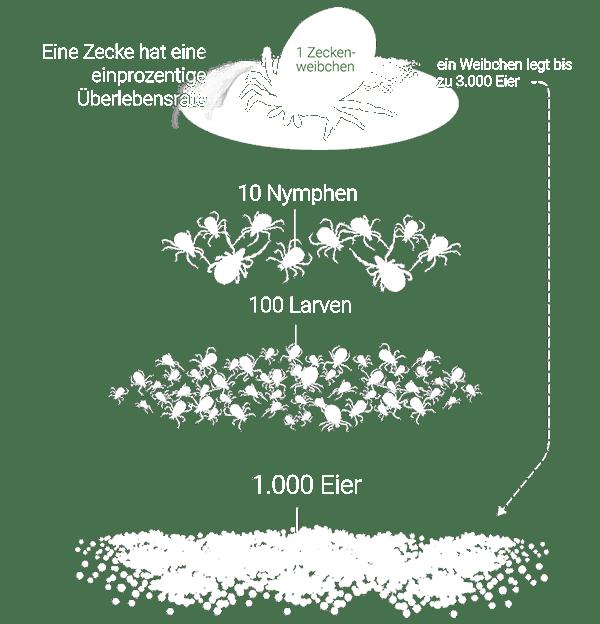 Grafik: Überlebensrate von Zecken (Gemeiner Holzbock) - aus 1.000 Eiern, ein adultes Weibchen