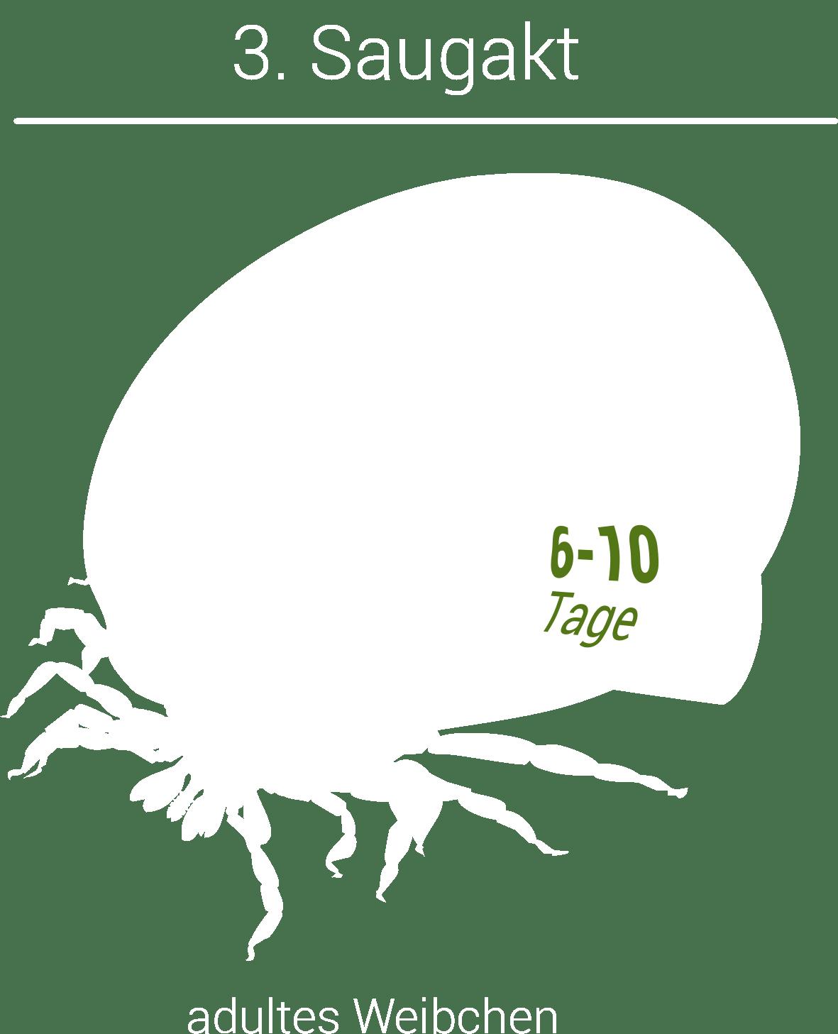 Grafik: Größenzunahme der Zecke nach 6-10 Tagen.