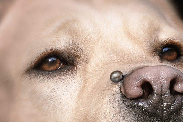 Vollgesogene Zecke auf einem Hund