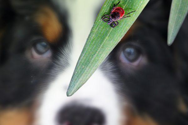 Hund-blur-BG-zecke