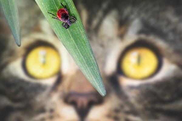 Zecke auf einem Grashalm mit Katze im Hintergrund