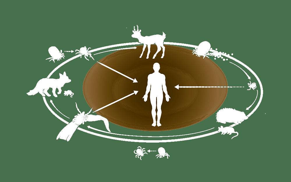 Grafik: Der Lebenszyklus der Zecke