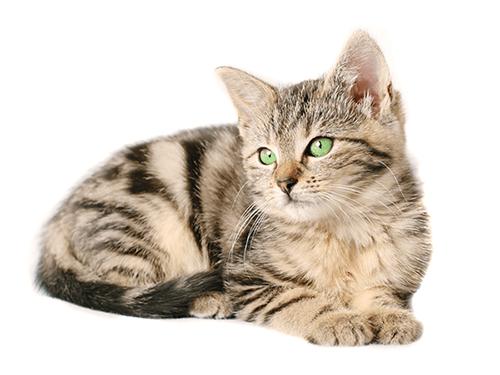 junge Katze mit grünen Augen liegend