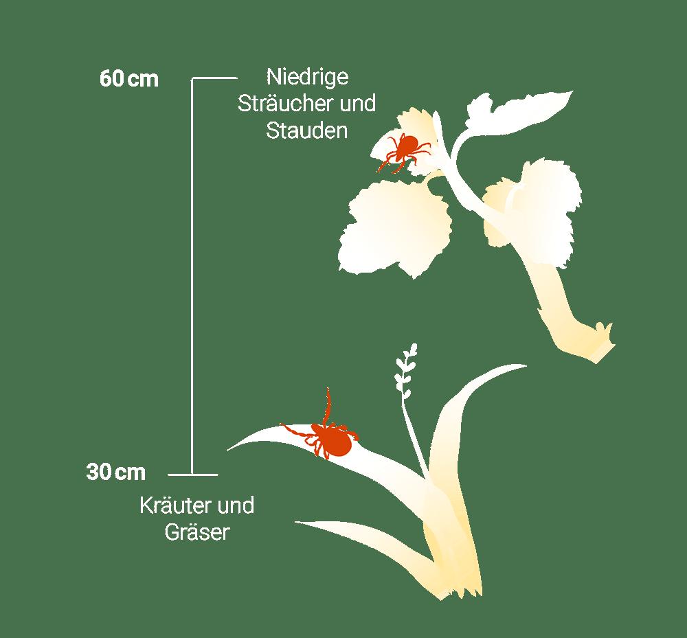 Infografik: Bis zu welcher Höhe sich Zecken aufhalten